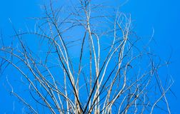 Old dry tree with branches and no leaves against a blue sky which can be used as a background, abstract green leaf on blue sky royalty free stock photo