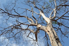 Old dry tree on a cloudy sky Stock Photos