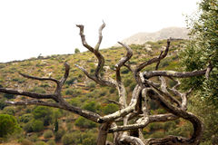 Old dry tree Royalty Free Stock Image