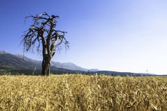 Old and dry tree Royalty Free Stock Image