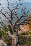 Old dry tree. On the edge of a cliff at sunrise in Crimea Stock Image