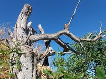 Old dry tree without leafs royalty free stock photos