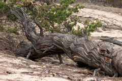 An old dry tree lies on the sand. Beautiful texture. royalty free stock photo