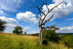 Old dry tree over beautiful sky Royalty Free Stock Image