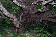 Old dry tree in a tropical rain forest. Portuguese island of Madeira stock photos
