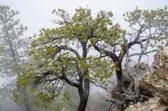 Old dry trees growing on Grand Canyon rocks. Heavy fog background. Arizona. USA stock photography