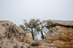 Old dry trees growing on Grand Canyon rocks. Heavy fog background. Arizona. USA stock image