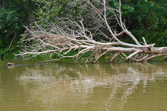 Old dry trees in the river Stock Image