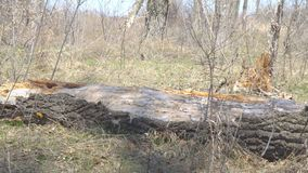 Old dry trunk of fallen tree on ground. Old dry trunk of fallen tree on the ground stock video