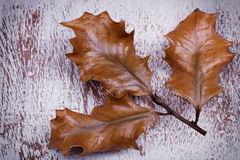 Old dry up holly leaves Royalty Free Stock Photo