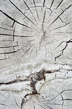 Old dry wood cross section. Royalty Free Stock Photography