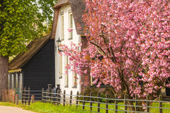 Old Dutch farm surrounded by blossom fruit trees Royalty Free Stock Photography