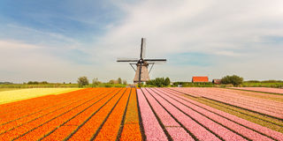 Old Dutch windmill with blooming tulips in front Royalty Free Stock Images