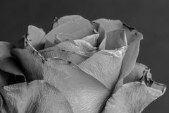 Old dying grey damaged by time rose. Dying and death concept. Black and white photo Royalty Free Stock Photo
