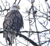 Old Eagle Royalty Free Stock Image