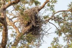Old eagles nest high up in the tree Royalty Free Stock Images