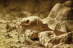 Old eating turtle Royalty Free Stock Images