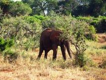 Old elephant Royalty Free Stock Photo