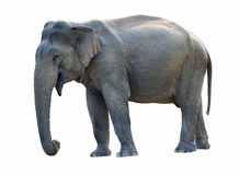 Old Elephant Stock Photography
