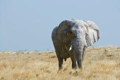 Old elephant. Old big elephant in Etosha National Park Stock Photo