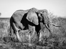 Old elephant in black and white Stock Images