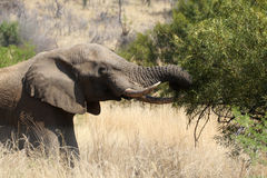 An old Elephant browsing on a tree's leaves Royalty Free Stock Photo
