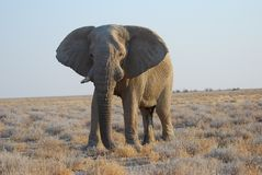 Old Elephant Bull Royalty Free Stock Images
