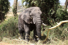 Old elephant bull. Coming out of the swamp in Ngorongoro crater Tanzania Royalty Free Stock Images