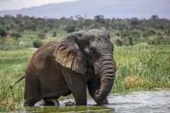 Old Elephant Bull in Akagera National Park. This Old Elephant Bull in Akagera National Park is known to be a fan of Coca Cola. Kicked out from his herd the kids Stock Photos
