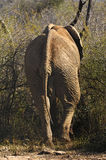 Old elephant bull in the bush Royalty Free Stock Image