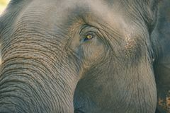 Old elephant in the forest. Closeup front of Asian elephants face Royalty Free Stock Images