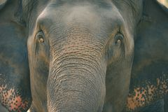 Old elephant in the forest. Closeup front of Asian elephants face Stock Images