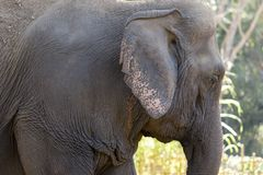 Old elephant in the forest. Closeup front of Asian elephants face Stock Photography
