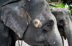 Old Elephant heads with neck chained Stock Images