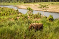 Old elephant in the middle of nature in Chitwan Park, Nepal.  stock photos