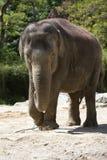 Old elephant Royalty Free Stock Photography
