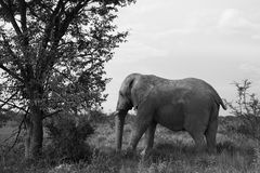 Old elephant resting in the shade of a large tree   in the Etosh Royalty Free Stock Image
