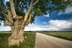 Old elm at gravel road Stock Images