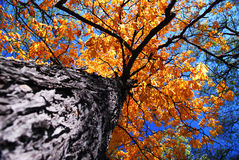Old elm tree in the fall. Golden autumn canopy of an old tall elm tree in sunny fall forest stock photo