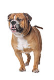 Old English Bulldog Stock Image