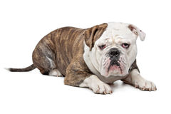 Old English Bulldog Royalty Free Stock Photos