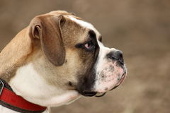 Old English bulldog. Beautiful Old English bulldog head stock photos