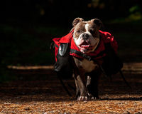 Old English Bulldog carry bags on their back. Old English Bulldog working to carry bags on their back royalty free stock photos