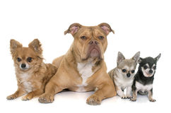 Old english bulldog and chihuahua Stock Photo