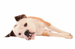 Old English Bulldog lying on a white background Royalty Free Stock Image