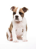 Old english bulldog pup Royalty Free Stock Photo