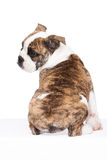 Old english bulldog pup from the rear. Whelp of an old english bulldog sitting, from the rear, isolated on white background Stock Photos