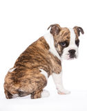 Old english bulldog pup from the rear. Whelp of an old english bulldog sitting, from the rear, isolated on white background Stock Photo