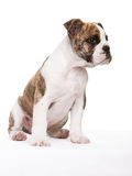 Old english bulldog pup sitting. Whelp of an old english bulldog lateral sitting Royalty Free Stock Images