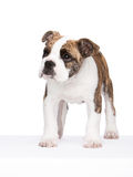 Old english bulldog pup standing. Whelp of an old english bulldog standing, isolated Royalty Free Stock Photo